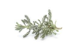 Branche of lavender cotton Stock Photo