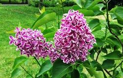 Branche lilas Photo libre de droits