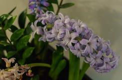 Branche lilas douce de jacinthe dans un pot de fleur photos libres de droits