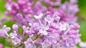 Branche lilas fleurissante banque de vidéos