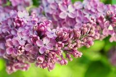 Branche lilas fleurissante Photo stock