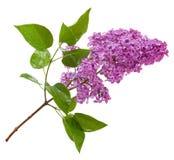Branche lilas pourpre d'isolement sur le blanc Photos libres de droits