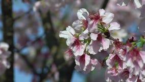 Branche merveilleuse de cerise fleurissante de mouvement lent Beau Sakura de floraison banque de vidéos
