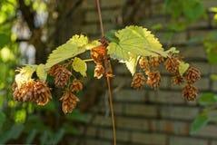 Branche mince d'une usine avec les feuilles jaunes et l'houblon brun sec image libre de droits