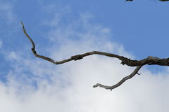 Branche morte sur le ciel Images libres de droits