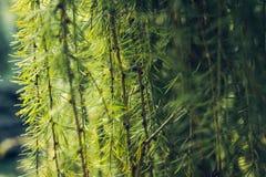 Branche naturelle de pin couverte de rosée au gardenBackground botanique des branches d'arbre de Noël branches épineuses vertes d image libre de droits