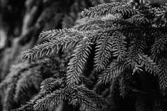 Branche naturelle de pin couverte de rosée au gardenBackground botanique des branches d'arbre de Noël branches épineuses vertes d photo stock