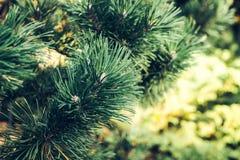 Branche naturelle de pin couverte de rosée au gardenBackground botanique des branches d'arbre de Noël Branchements épineux verts image libre de droits