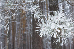 Branche neigeuse de pin congelée par paysage de forêt de fond en hiver Photographie stock libre de droits