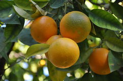 Branche orange de fruit Photos stock