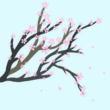 Branche plate de Sakura Photographie stock libre de droits