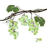 Branche polygonale stylisée des raisins verts illustration libre de droits