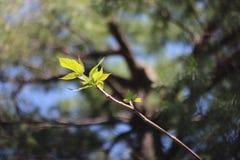Branche poussée des feuilles verte vibrante sur le ciel et le pin image libre de droits