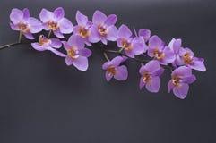 Branche romantique d'orchidée rose sur le fond gris Image stock