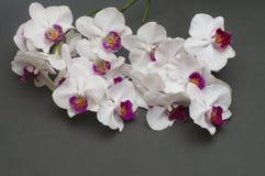Branche romantique de l'orchidée blanche sur le fond gris Photos libres de droits