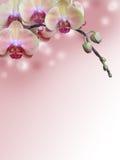 Branche rose d'orchidée avec le fond abstrait de bokeh Photos libres de droits
