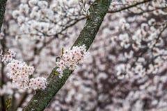 Branche rose de fleurs Photographie stock