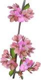 Branche rose simple de fleur de pomme sur le blanc Photos libres de droits
