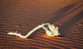 Branche sèche blanchie sur la dune de sable de Kalahari avec des modèles dans le sable rouge et longues ombres sur la dune Photographie stock libre de droits