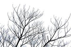 Branche sans feuilles ou arbre mort d'isolement sur le fond blanc avec le chemin de coupure Photographie stock libre de droits