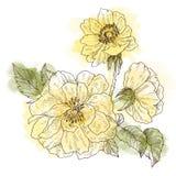 Branche sauvage de fleur de roses d'isolement sur le blanc Illustration tirée par la main botanique de vintage avec la tache d'aq Photographie stock libre de droits