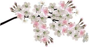 Branche se développante d'isolement d'arbre rose-clair de ressort Photo stock