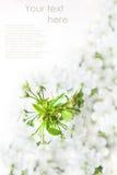 Branche se développante de cerise Photographie stock