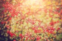 Branche se développante de coing japonais de chaenomeles, petites fleurs rouges Photographie stock libre de droits