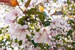 Branche se développante de ressort merveilleux de pâle - Sakura rose Photos stock