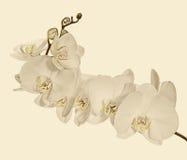 Branche se développante lourde avec les fleurs blanches d'orchidée Photo libre de droits