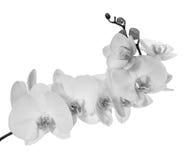 Branche se développante lourde avec les fleurs blanches d'orchidée Photos stock