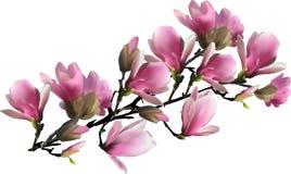 Branche se développante rose de magnolia sur le blanc Images libres de droits