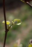 Branche se développante de tige de ressort Photos stock