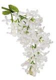 Branche simple lilas blanche pure d'isolement Photographie stock libre de droits