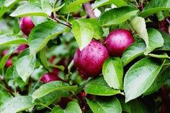 Branche spartiate de pommier avec la pomme après pluie Photographie stock libre de droits