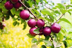 Branche spartiate de pommier avec la pomme après pluie Image libre de droits