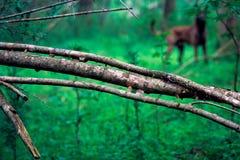 Branche tombée dans la forêt avec le chien Photos stock