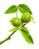 Branche verte avec de jeunes noix d'isolement sur le fond blanc Photo libre de droits