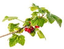 Branche verte avec la groseille rouge d'isolement sur le fond blanc Image stock