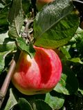 Branche verte avec une grande écarlate, pomme juteuse à la lumière du soleil Images stock