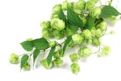 Branche verte d'houblon photo libre de droits