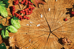 Branche verte d'houblon, houblon sec brun et viburnum sur le bois criqué Photo libre de droits