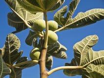 Branche verte de figue Photos libres de droits