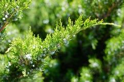 Branche verte de genévrier avec de petits cônes Disposition diagonale images stock