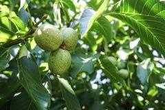 Branche verte de noix image libre de droits