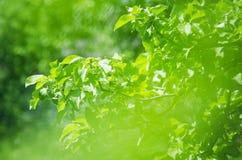 Branche verte de pommier sur un fond naturel d'été Orientation molle photos stock