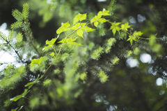 Branche verte de ressort Photos libres de droits