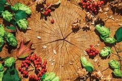 Branche verte fraîche d'houblon, houblon sec brun et viburnum rouge Images stock