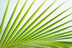 Branche verte luxuriante de paume Photographie stock libre de droits