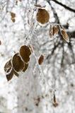 Branche vitrée par glace en hiver Photographie stock
